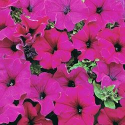 Petunia g. pendula 'Lady Purple' F1 Hybrid