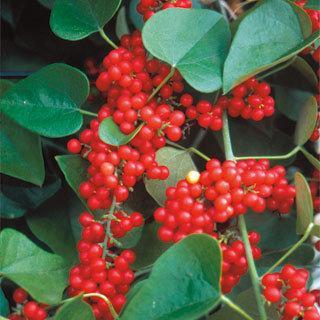 Eastern Prince Magnolia Vine Plant