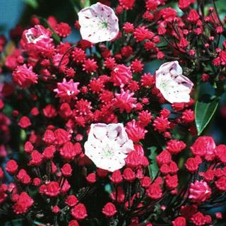 Ostbo Red Kalmia latifolia Mountain Laurel Shrub