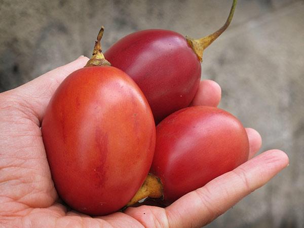 Tamarillo or Tree Tomato