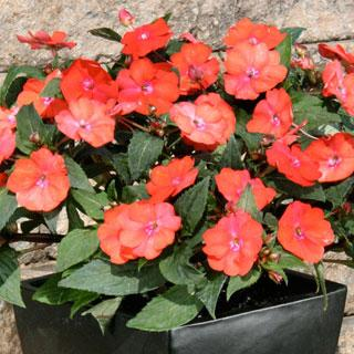 Impatiens Red SunPatiens® Annual Plant