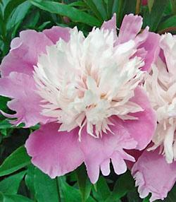 Bowl of Beauty Peony - 1 root division