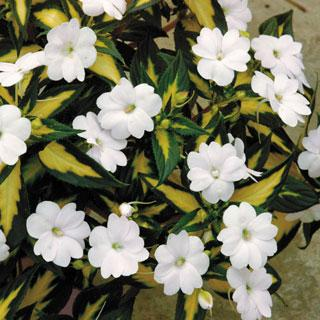 Impatiens Varigated Spreading White SunPatiens® Annual Plant