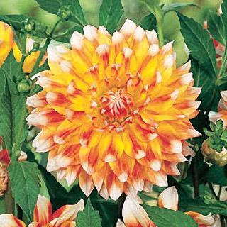 Peaches and Cream Dahlia Plant