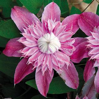 Josephine™ Clematis Virgin's Bower Plant