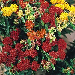 Asclepias 'Gay Butterflies Mixed'