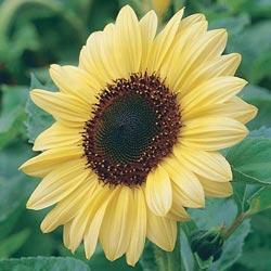 Sunflower a. 'Teddy Bear'