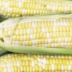 Northern Xtra Sweet Bicolor (sh2) Sweet Corn