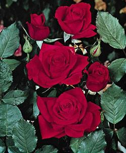 Olympiad Hybrid Tea Rose - 1 bare root plant