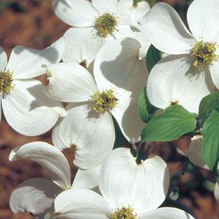 Appalachian Spring Cornus florida Dogwood Tree
