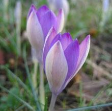SOLD OUT The Giant Colchicum - 5 bulbs