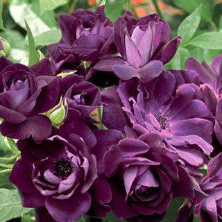 Burgundy Iceberg™ 36-inch Patio Tree Rose