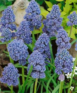 SOLD OUT Blue Spike Muscari - 10 bulbs