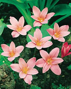 SOLD OUT Fairy Lilies - 25 bulbs