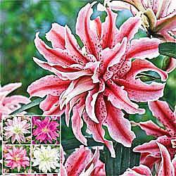 Double Oriental Lily Collection