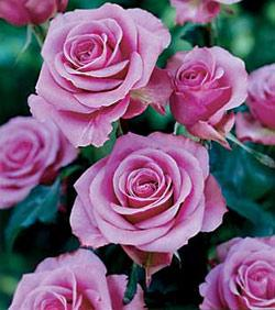Angel Face Floribunda Rose - 1 bare root plant
