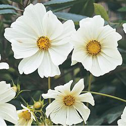 Cosmos b 'Purity'