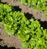 Nevada Summer Crisp Lettuce