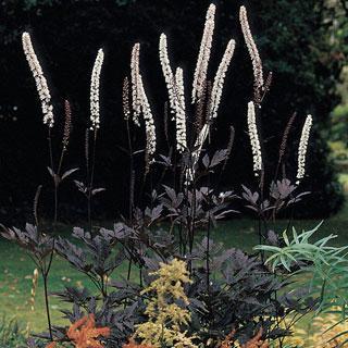 hillside black beauty cimicifuga racemosa bugbane plant reviews. Black Bedroom Furniture Sets. Home Design Ideas