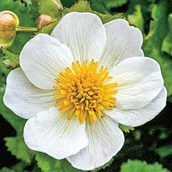 Himalayan Snow Marsh Marigold