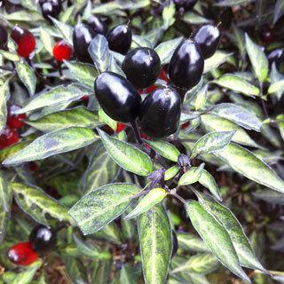 Ornamental Pepper Black Olive