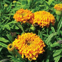 Spun Gold - Marigold
