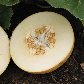 Melon Dove Hybrid