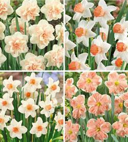 SOLD OUT Shades of Pink Daffodil Collection - 40 bulbs