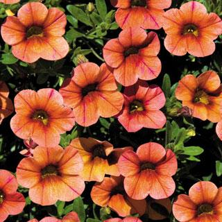 Calibrachoa MiniFamous™ Peach Evolution