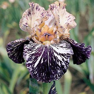 Gnus Flash Bearded Iris Plant