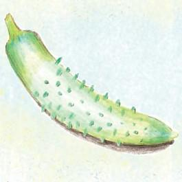 Parisian Pickling Cucumber