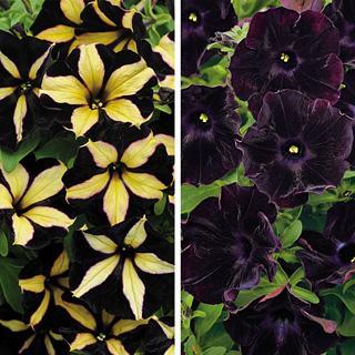 Black Bloom Petunia Annual Plant Combination