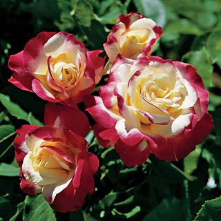 Double Delight 36-inch Patio Tree Rose