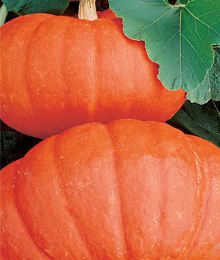 Pumpkin, Rouge Vif D`etampes