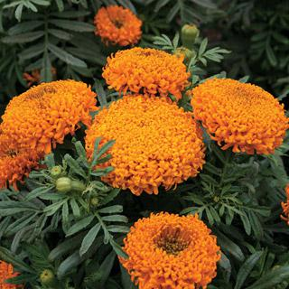 Marigold Mumsy Orange