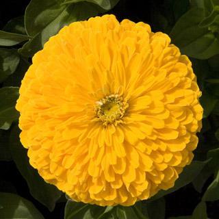 Zinnia Sun Gold Hybrid