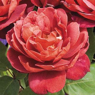 Hot Cocoa 36-inch Patio Tree Rose