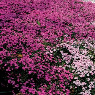 Fort Hill Moss Pink Creeping Phlox Plant