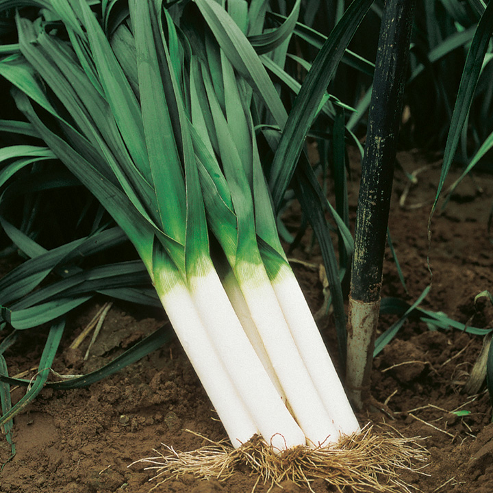 Autumn Giant Leek