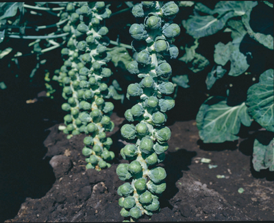 Royal Marvel Hybrid Brussel Sprouts