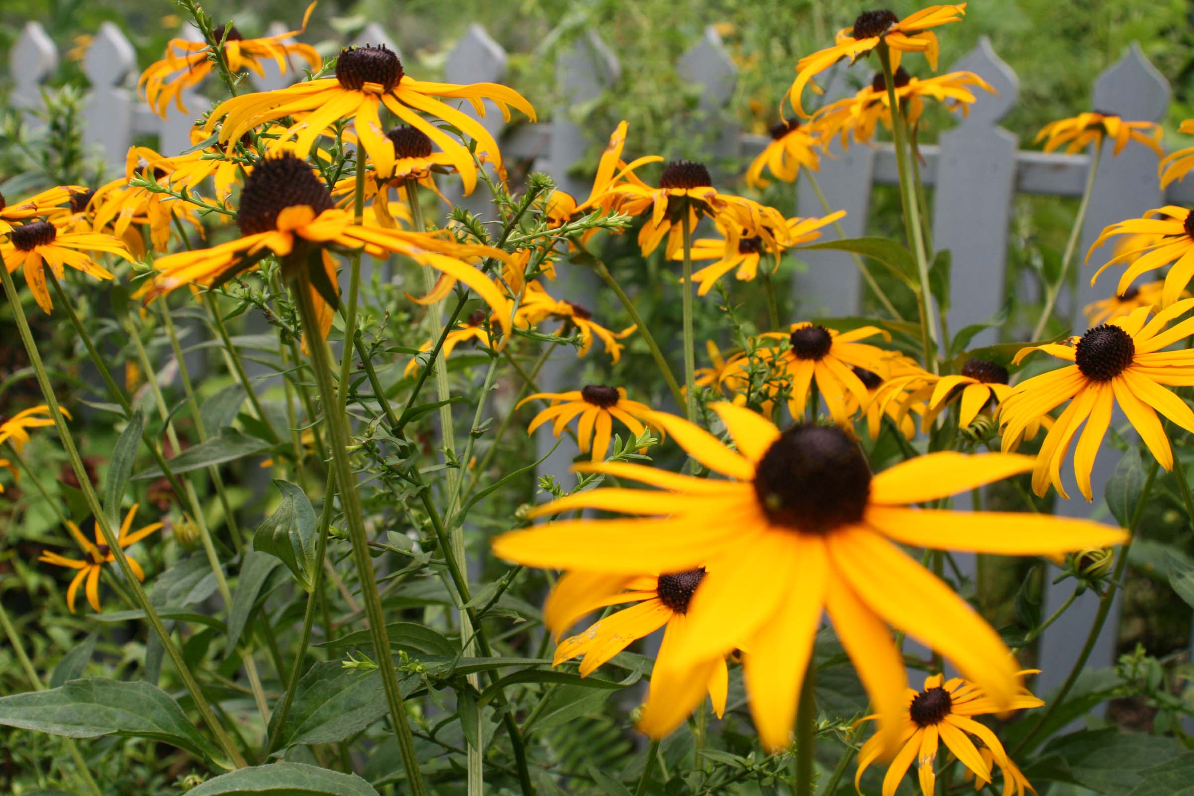 Black eyed susan sunrise surprise reviews Black eyed susans