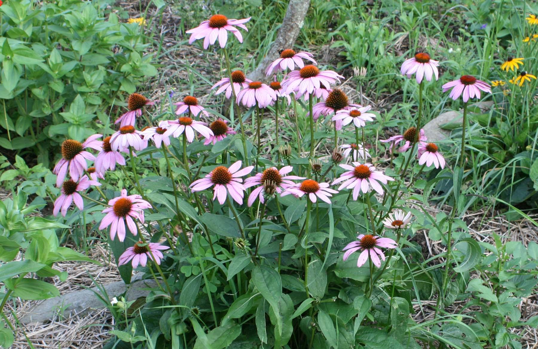 Echinacea & Echinacea reviews