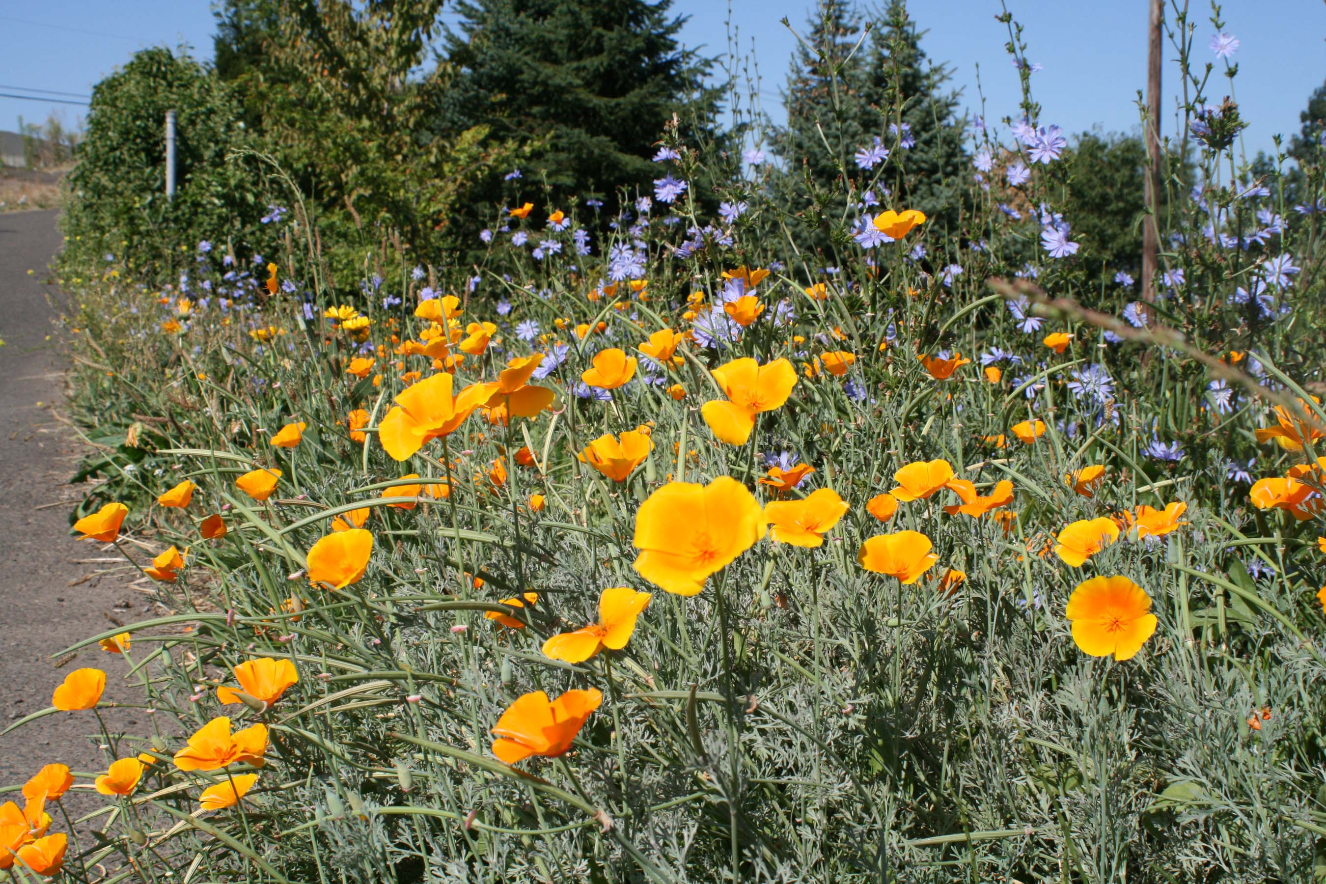 Poppy-California Orange