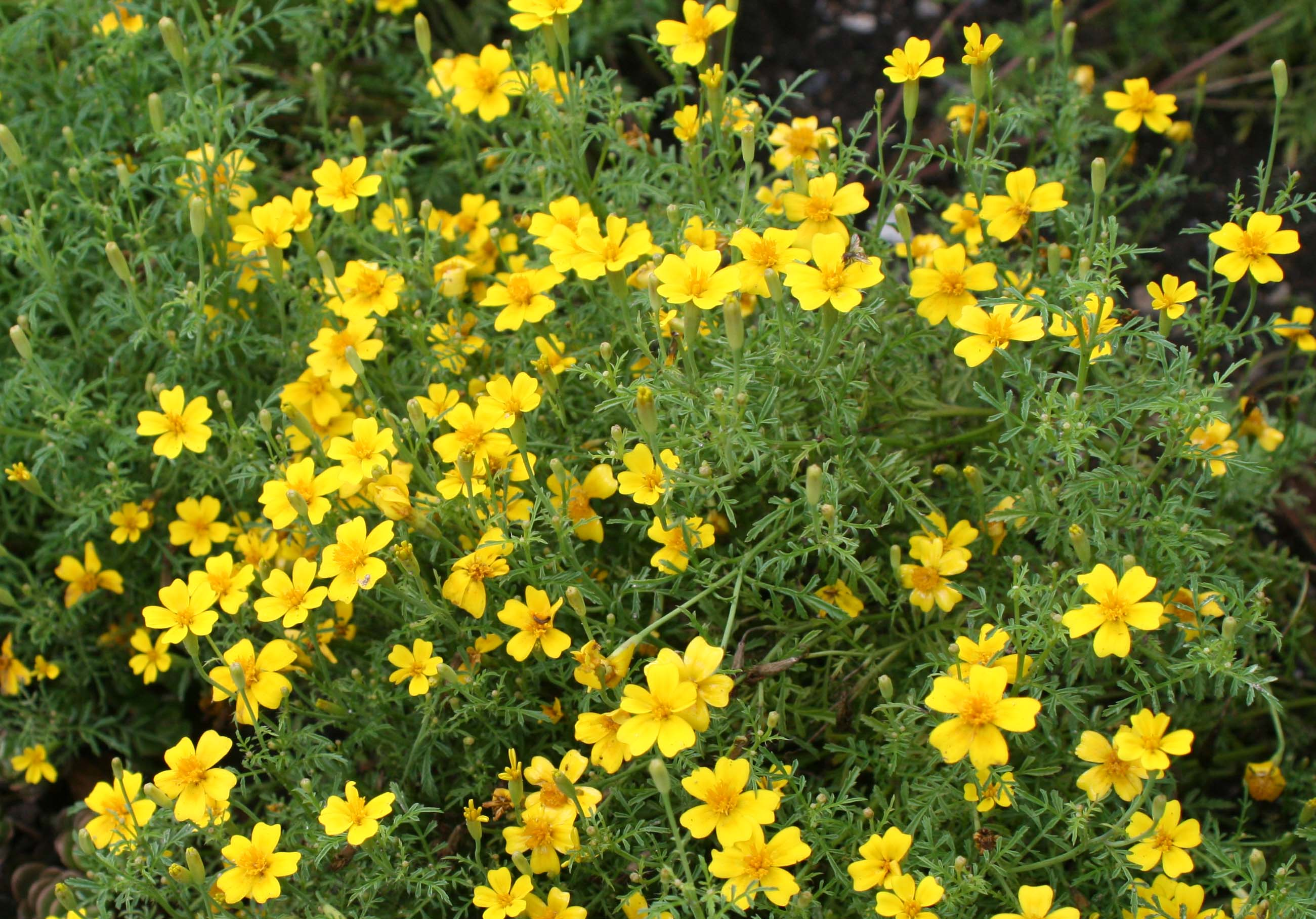 Marigold-Lemon Gem