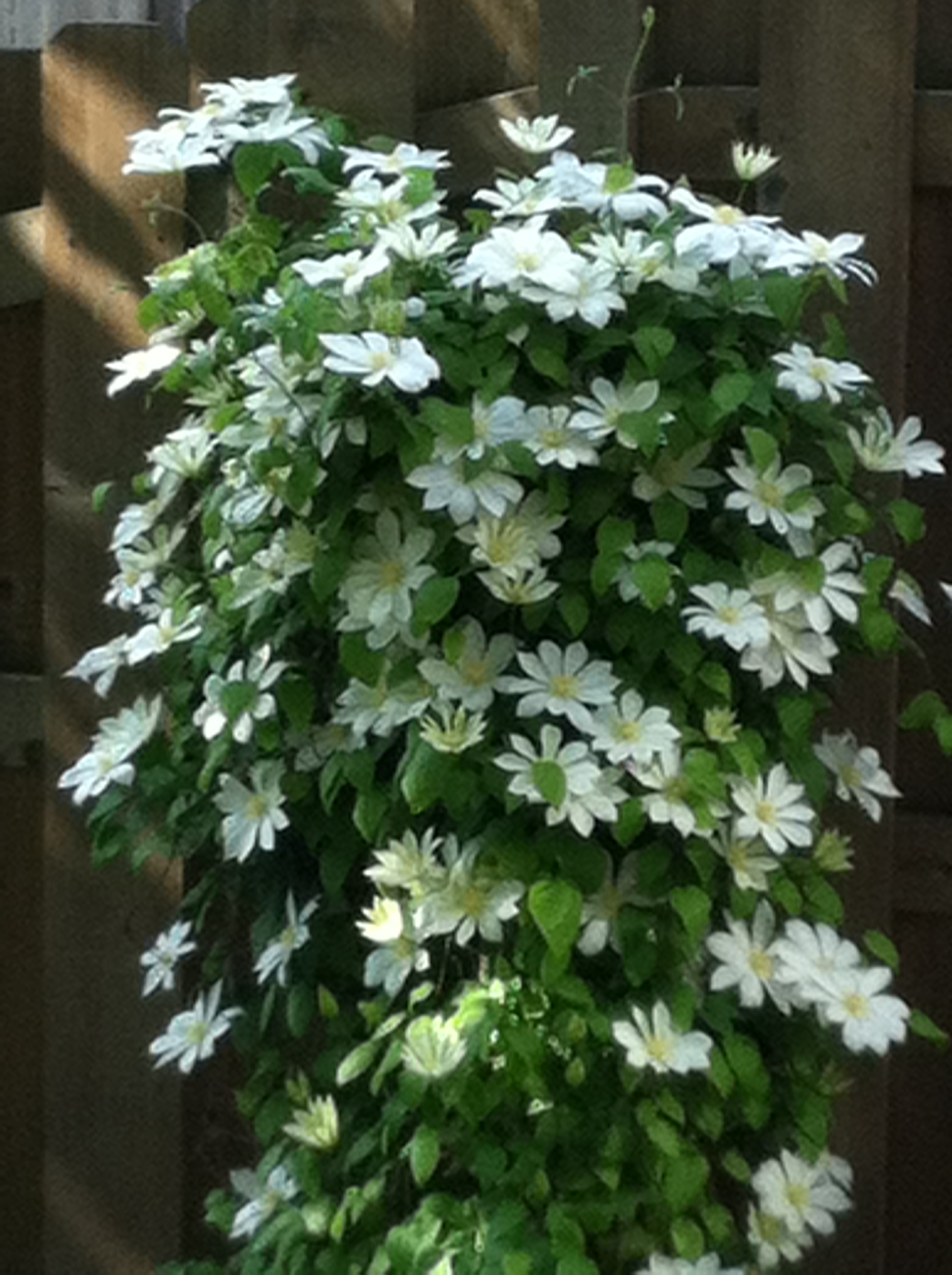 Hyde Hall™ White Clematis Virgin's Bower Plant