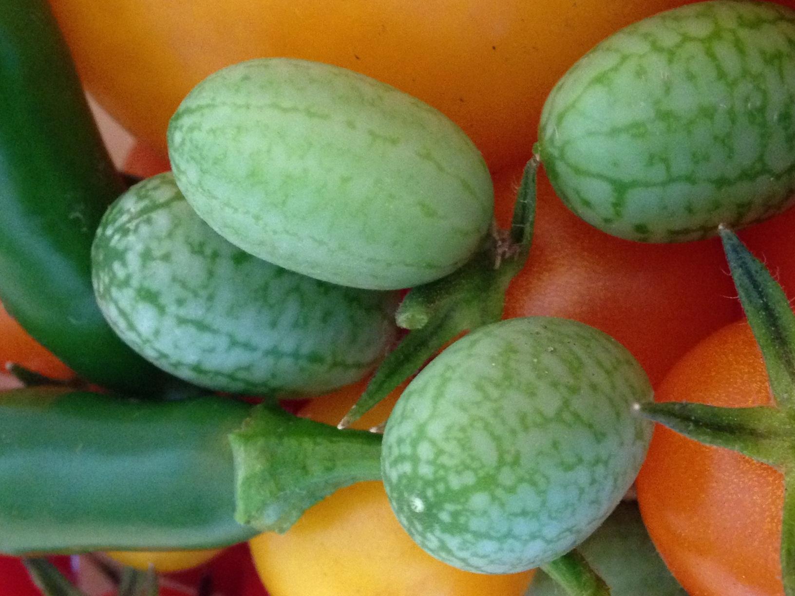 Mexican Sour Gherkin Cucumber
