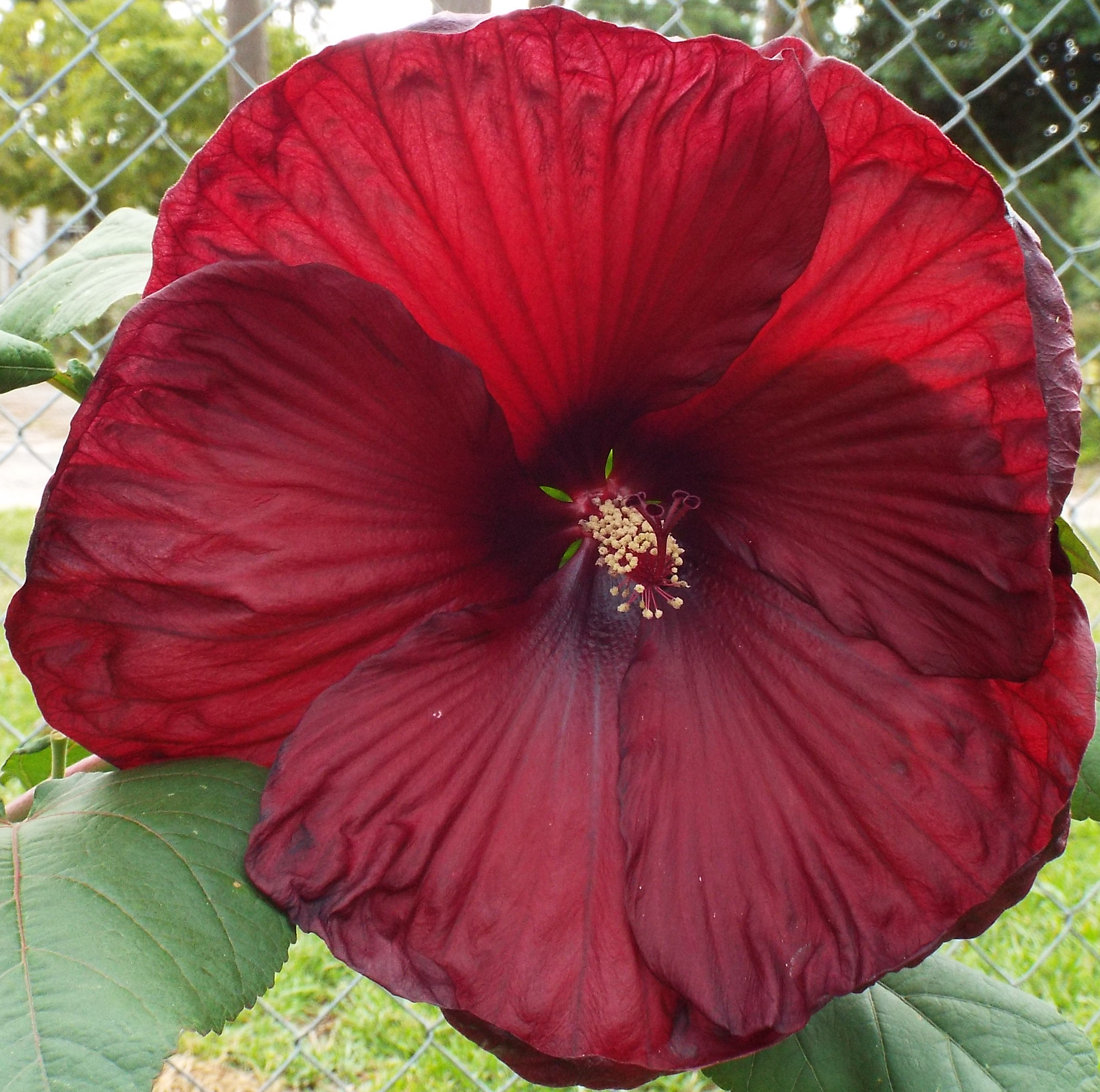 Heartthrob Hibiscus moscheutos Rose Mallow Plant
